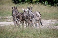 3 зебры играя главные роли на камере Стоковые Изображения RF