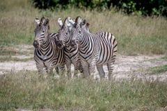 3 зебры играя главные роли на камере Стоковое фото RF