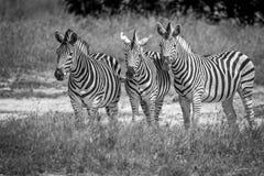 3 зебры играя главные роли на камере Стоковые Фото