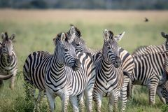2 зебры играя главные роли на камере Стоковое Изображение RF