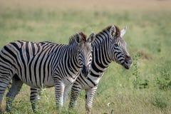 2 зебры играя главные роли на камере Стоковые Фотографии RF
