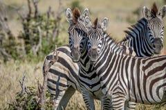 2 зебры играя главные роли на камере Стоковое фото RF