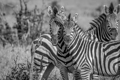 2 зебры играя главные роли на камере Стоковая Фотография RF