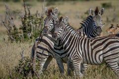 2 зебры играя главные роли на камере Стоковое Фото