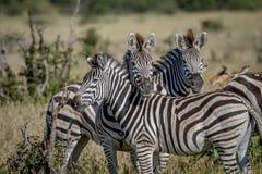 2 зебры играя главные роли на камере Стоковые Изображения RF