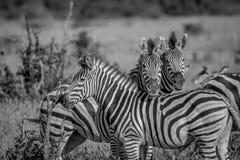2 зебры играя главные роли на камере Стоковая Фотография