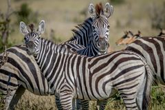 2 зебры играя главные роли на камере Стоковое Изображение
