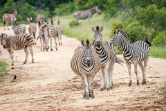 Зебры играя главные роли на камере Стоковые Фото
