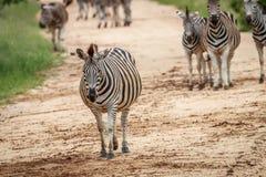 Зебры играя главные роли на камере Стоковое Фото