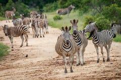 Зебры играя главные роли на камере Стоковая Фотография
