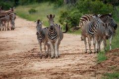 Зебры играя главные роли на камере Стоковое Изображение