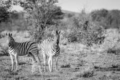 2 зебры играя главные роли на камере Стоковые Изображения