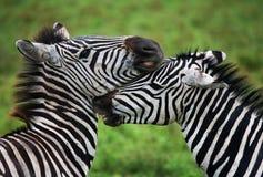 2 зебры играя друг с другом Кения Танзания Национальный парк serengeti Maasai Mara Стоковые Изображения