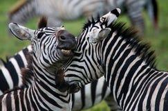 2 зебры играя друг с другом Кения Танзания Национальный парк serengeti Maasai Mara Стоковое фото RF