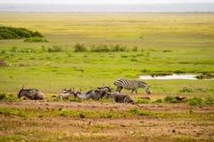 Зебры и антилопа гну в равнине саванны Amboseli паркуют внутри Стоковая Фотография RF