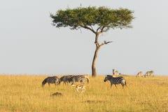 Зебры и газели на дереве на саванне Стоковая Фотография