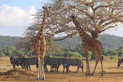 Зебры и жирафы на саванне Стоковая Фотография RF