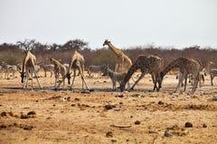 Зебры и жирафы Damara на waterhole, Etosha, Намибии Стоковое Изображение