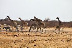 Зебры и жирафы Damara на waterhole, Etosha, Намибии Стоковые Фотографии RF