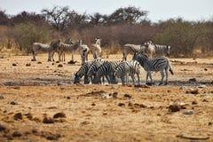 Зебры и жирафы Damara на waterhole, Etosha, Намибии Стоковая Фотография RF