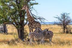 Зебры и жираф получая некоторую тень на саванне национального парка Etosha, Намибии, Африки Стоковое фото RF