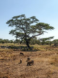 Зебры и дикие кабаны Стоковые Фотографии RF