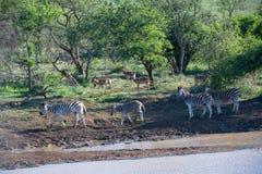 Зебры и импалы Стоковые Фотографии RF