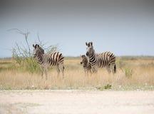 Зебры и младенец Стоковое Изображение RF