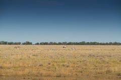 Зебры и почёт, который нужно идти на саванну Etosha вышесказанного стоковая фотография rf