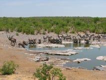 Зебры и сторона kudus выпивая - мимо - сторона Стоковые Фотографии RF