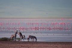Зебры и фламинго в Ngorongoro стоковые фотографии rf
