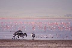 Зебры и фламинго в Ngorongoro стоковые изображения rf