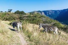 Зебры идя вверх по следу в запасе в Южной Африке Стоковые Фото