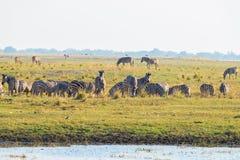 Зебры идя на речной берег Chobe в backlight на заходе солнца Сценарный красочный солнечный свет на горизонте Cruis сафари и шлюпк Стоковые Изображения RF