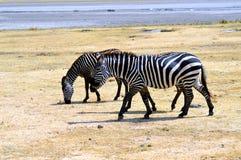 2 зебры которое пасет Стоковые Изображения RF
