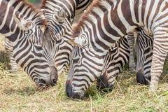 Зебры крупного плана пася траву с запачканной предпосылкой в зоопарке Стоковая Фотография