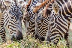 Зебры крупного плана пася траву с запачканной предпосылкой в зоопарке Стоковое Изображение RF
