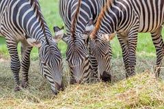 Зебры крупного плана пася траву с запачканной предпосылкой в зоопарке Стоковые Фотографии RF