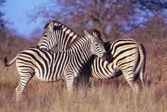2 зебры, мать & младенец Стоковое Изображение RF