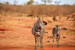 Зебры наблюдая, на сафари в пейзаже Кении Стоковая Фотография