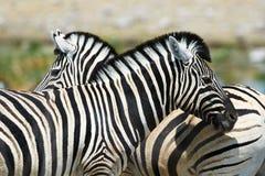 2 зебры наблюдая в различных направлениях Стоковое фото RF