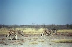 зебры национального парка Намибии etosha burchell Стоковые Фото