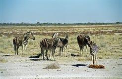 зебры национального парка Намибии etosha burchell Стоковые Изображения RF