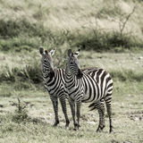 2 зебры, национальный парк Serengeti Стоковые Изображения RF