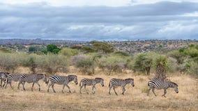 Зебры, национальный парк Tarangire, Танзания, Африка Стоковые Фотографии RF