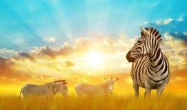 Зебры на африканской саванне на заходе солнца Стоковая Фотография RF