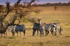 Зебры на африканской саванне Стоковые Фото