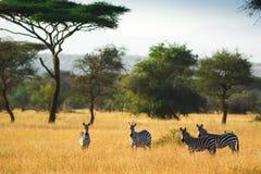 Зебры на африканской саванне Стоковая Фотография RF