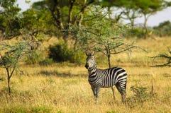 Зебры на африканской саванне Стоковые Фотографии RF