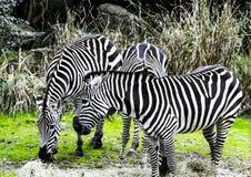 Зебры на зверинце Стоковая Фотография